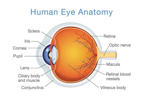 Human Eye Anatomy